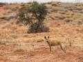 Dingo. Photo: David Nelson