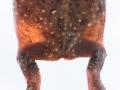 Water stored in the bladder of <I>Notaden nichollsi</I>, Desert Spadefoot. Photo: David Nelson