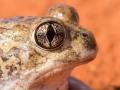 Trilling frog / Sudell's frog. <I>Neobatrachus sudellae</I>. Photo: David Nelson