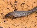 Ingram's Brown Snake, <I>Pseudonaja ingrami</I>. Channel country near Bedourie. Photo: David Nelson