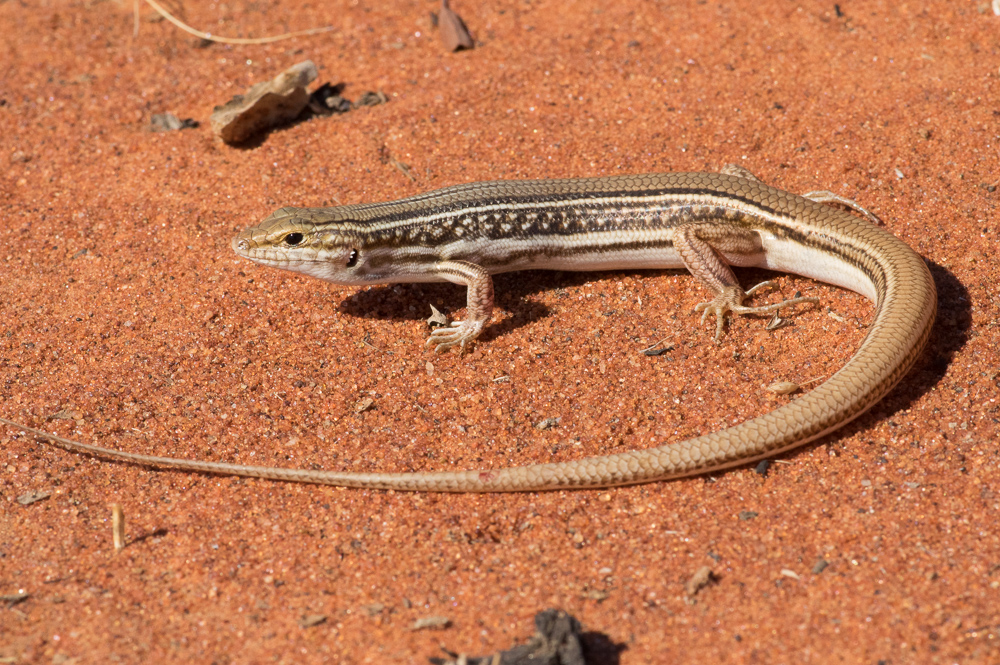 Royal Ctenotus -<i> Ctenotus regius</i>. Photo: David Nelson