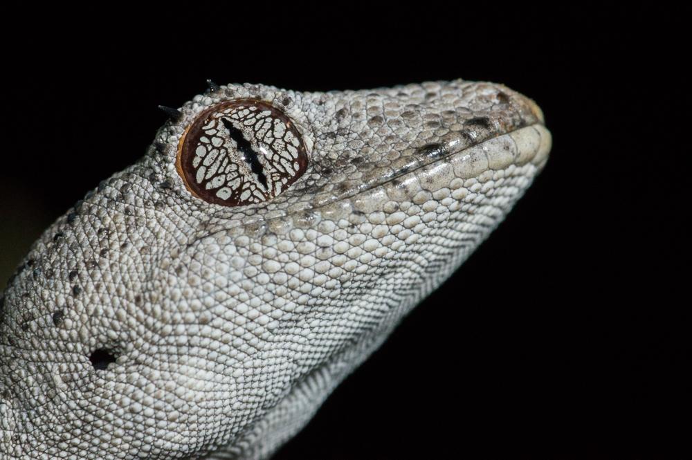 Spiny-Tailed Gecko, <i>Strophurus ciliaris</i>. Photo: David Nelson