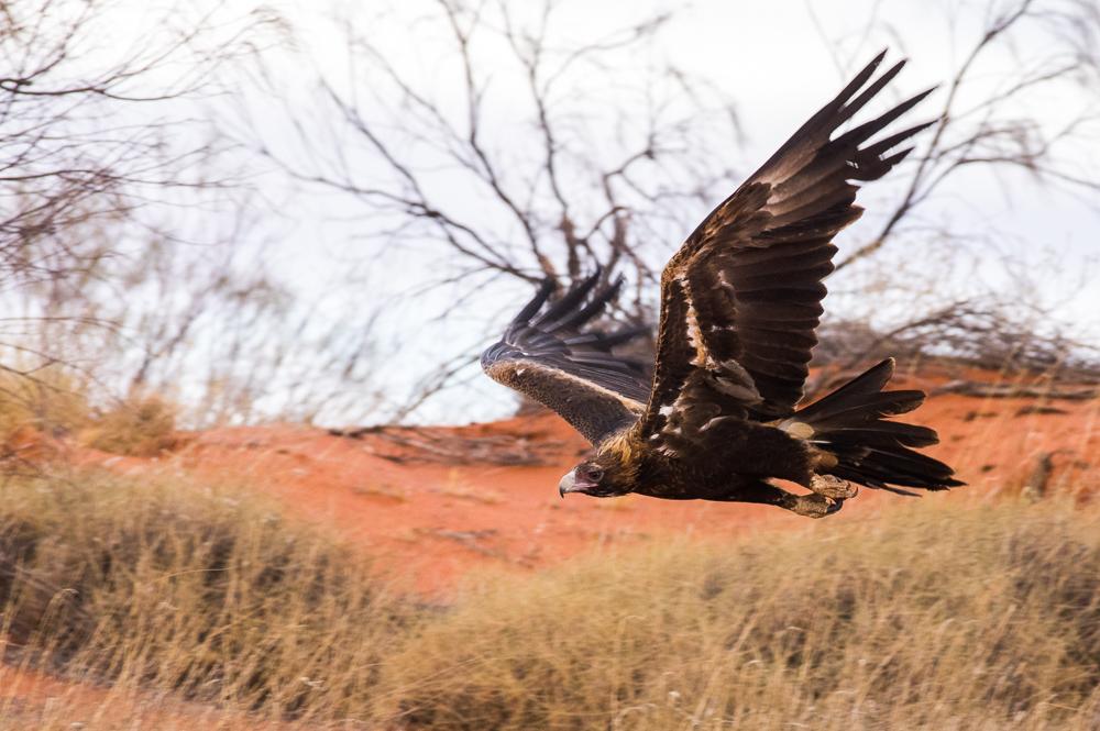 Wedge-tailed Eagle. Photo: David Nelson