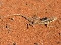 Military Dragon, <i>Ctenotus isolepis</i>. Photo: David Nelson