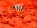 Desert Spadefoot, <I>Notaden nichollsi</I>. Photo: Lachlan Pettit