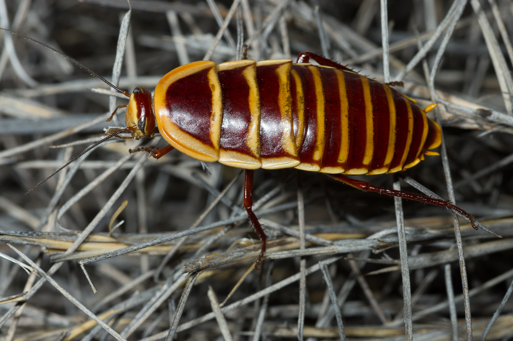 Windorah Spinifex Cockroach. Photo: David Nelson