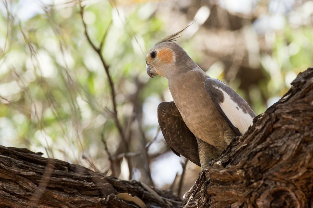 Cockatiel. Photo: David Nelson