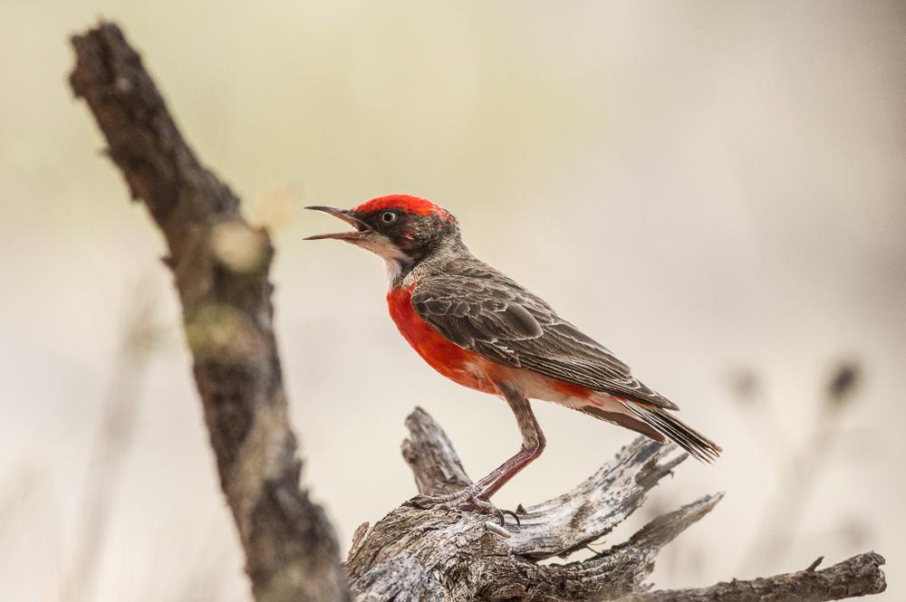 Crimson Chat. Photo: David Nelson