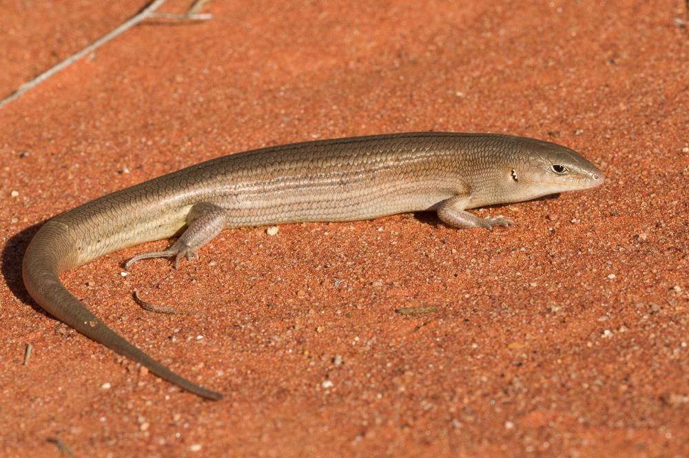 <I>Ctenotus helenae</I>. Photo: David Nelson