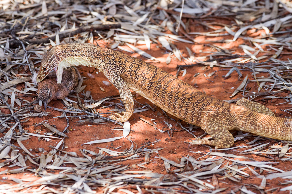 Sand Goanna making a meal of a ? young white-winged triller. Photo: David Nelson