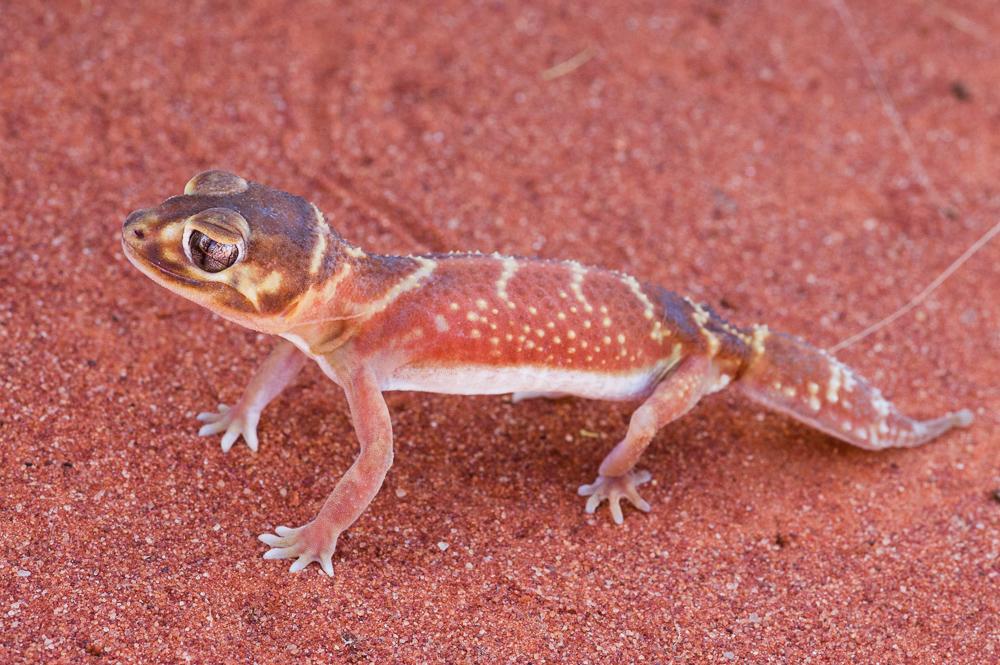 Knob-tailed Gecko, <I>Nephrurus levis</I>. Photo: David Nelson
