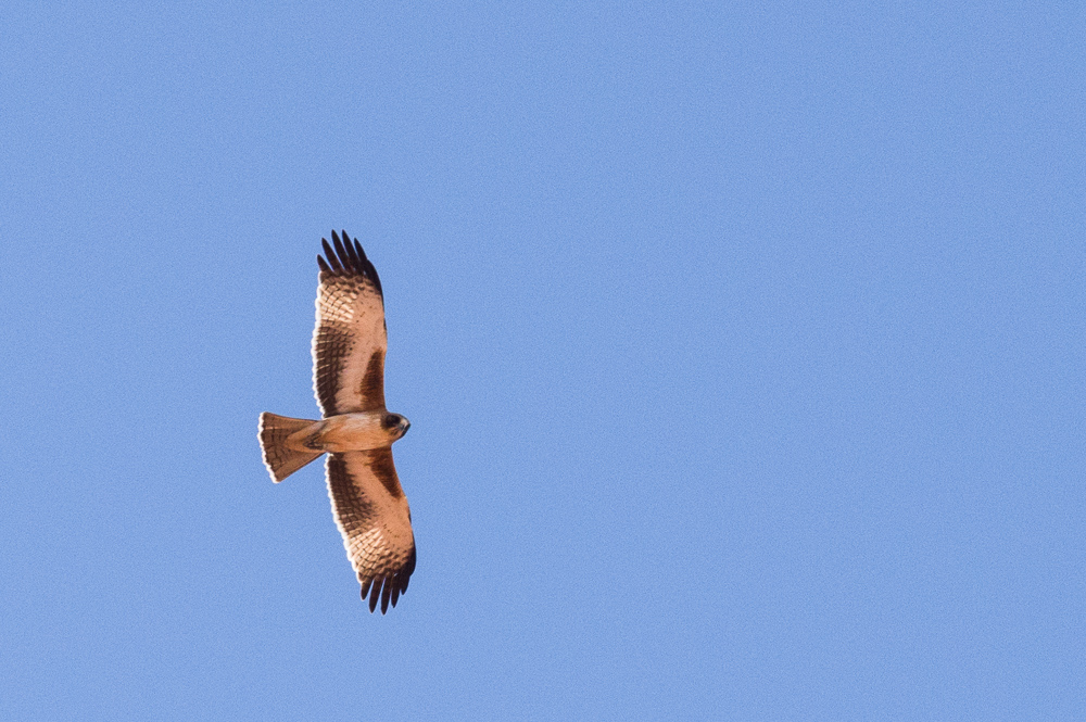Little Eagle. Photo: David Nelson