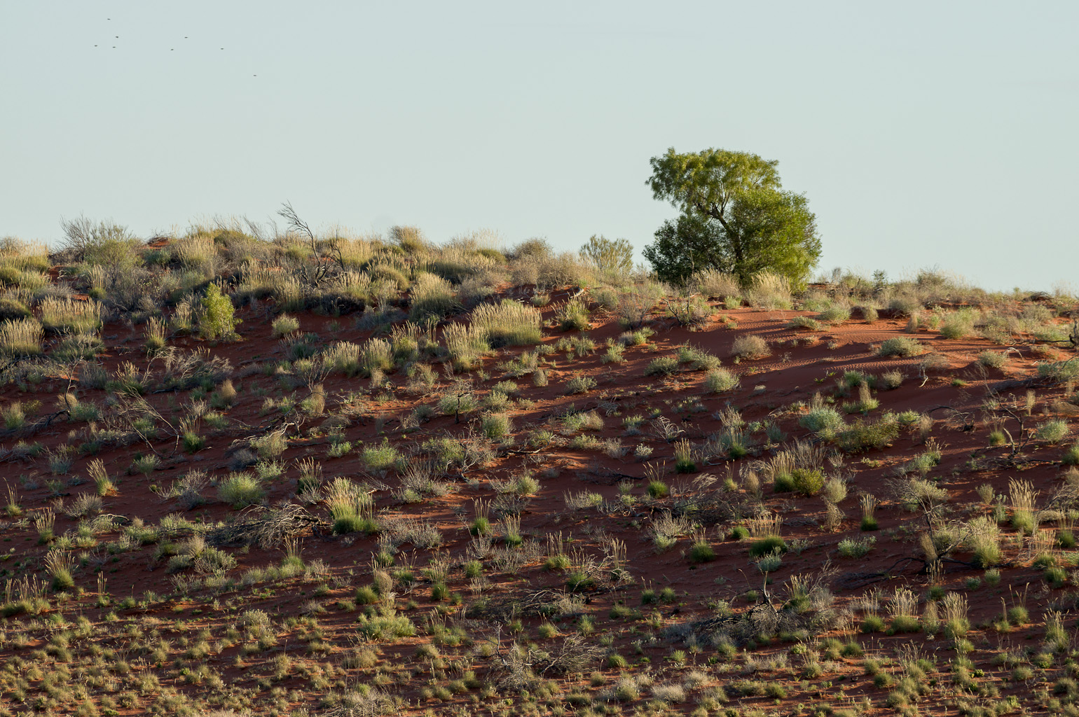 Flowering spinifex on dune. Photo: David Nelson
