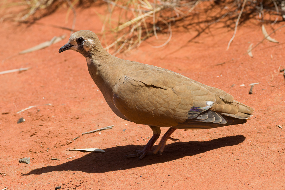Female Flock Bronzewing. Photo: David Nelson