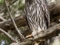 Barking Owl, Cooper's Creek. Photo: David Nelson
