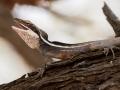 Displaying male Long-nosed Dragon, <I>Gowidon longirostrus</I>. Photo: David Nelson