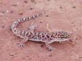Bynoe's gecko, <I>Heteronotia binoei</I>. Photo: David Nelson