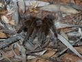 Bird-eating Spider. Photo: David Nelson