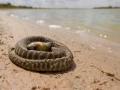 Dead Woma Python. Photo: David Nelson