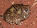 <i>Notaden bennettii</I>, Holy Cross Toad, Bourke. Photo: David Nelson
