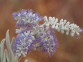 <i>Newcastelia spodiotricha</I>. Photo: David Nelson