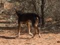 Black-and-Tan Dingo. Photo: David Nelson