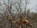 Skinny Camel. Photo: David Nelson
