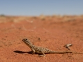 <I>Ctenophorus nuchalis, Central Netted Dragon. Photo: David Nelson