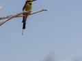 Rainbow Bee-eater. Photo: David Nelson