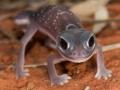 <I>Nephrurus levis, Knob-tailed Gecko. Photo: David Nelson