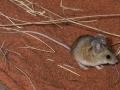 <I>Pseudomys hermannsburgensis</I>, Sandy Inland Mouse. Photo: David Nelson