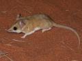 <I>Sminthopsis hirtipes</I>, Hairy-footed Dunnart. Photo: David Nelson