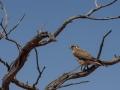 Brown Falcon. Photo: David Nelson
