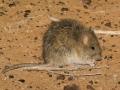 Long-haired Rat, <i>Rattus villosissimus</I>. Photo: David Nelson