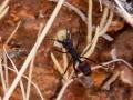 Rhytidoponera sp carrying seed. Photo: David Nelson