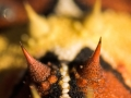 Thorny devil, Moloch horridus. Photo: David Nelson