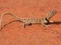 Collared Dragon, Ctenophorus clayi. Photo: David Nelson