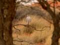 Grey Falcon. Photo: David Nelson