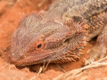 Bearded Dragon. Pogona vitticeps. Photo: David Nelson
