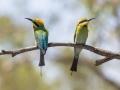 Rainbow Bee-Eaters. Photo: David Nelson