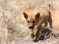 Dingo pup. Photo: David Nelson