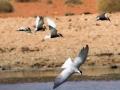 Terns. Photo: David Nelson